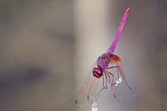 Crimson Marsh Glider Royalty Free Stock Photography