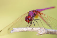Crimson Marsh Glider dragonfly Stock Photo