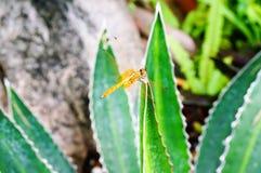 Crimson marsh glider dragonfly Stock Photos
