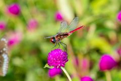 Crimson Marsh Glider Trithemis aurora dragonfly Libellulidae,. Crimson Marsh Glider Trithemis aurora is a species of dragonfly in the family Libellulidae from stock photo