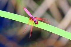 Crimson Marsh Glider Stock Images