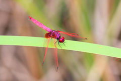 Crimson Marsh Glider Royalty Free Stock Images