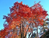 Crimson Morning. Autumn morning scene - Locust trees in the fall at Drake Park - Bend, OR Stock Photography