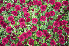 Crimson mums floral plant wallpaper Stock Photos