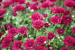 Crimson mums floral wallpaper Stock Image