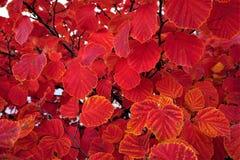 Crimson orange rimmed leaves on autumn shrub royalty free stock photography