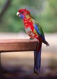 crimson parrottrosella fotografering för bildbyråer