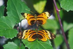 Crimson-patched Longwing Butterfly Royalty Free Stock Photo