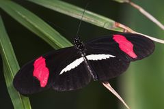 Crimson-patched Longwing Butterfly Royalty Free Stock Photos
