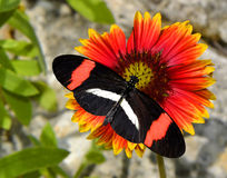 Crimson-patched Longwing Butterfly on a Blanket flower Stock Photo