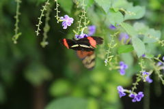 Crimson-patched Longwing butterfly Royalty Free Stock Images