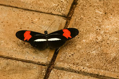 Crimson Patched Longwing-Heliconius erato phylis Stock Photo