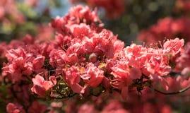 Crimson peach sakura, cherry blossom flowers of Nara. Crimson peach sakura, cherry blossom flowers of Nara, Japan Stock Photos
