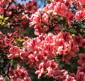 Crimson peach sakura, cherry blossom flowers of Nara. Crimson peach sakura, cherry blossom flowers of Nara, Japan Royalty Free Stock Images