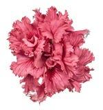 Crimson petunia isolated on white background Royalty Free Stock Photos