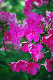 Crimson pink phlox flower cluster in the garden Royalty Free Stock Photography