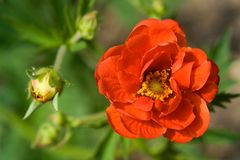 Crimson Potentilla flower. With companion bud.  Shalow focus Stock Image