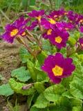 Crimson primroses. With green leaves Stock Photo