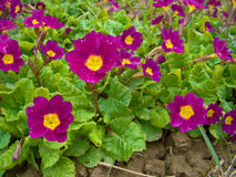 Crimson primroses. With green leaves Stock Image