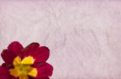 Crimson Primula Royalty Free Stock Photo