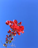 Bougainvillea blooming with Crimson Red Leaves Royalty Free Stock Photos
