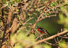 Crimson Red breasted Shrike Royalty Free Stock Photos