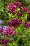 Crimson red chrysanthemum bloom in the fall in the garden close Stock Photography