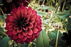 Crimson-Red Chrysanthemum flower. Vintage style Royalty Free Stock Image