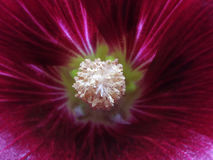 Crimson-red flower on a blurred background. Macro. Closeup. Furry white center.   For design. Stock Images