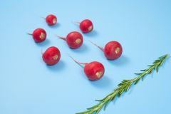 Crimson red radish and rosemary vegetable isolated on blue background. Spermatozoon swimming toward the egg. New life conception. Healthy food conception royalty free stock photo