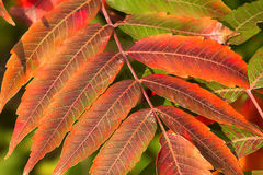 Crimson Red Sumac in Autumn Royalty Free Stock Photography