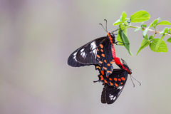 Crimson rose butterflies mating Stock Image