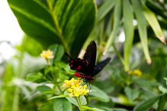 Crimson Rose Butterfly Pachliopta hector. A red body with black wings and red dots royalty free stock photos