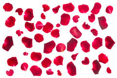 Crimson  rose petals Stock Photos