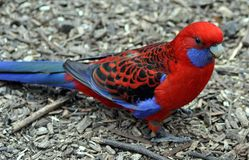 Crimson Rosella Stock Photo