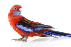 Crimson Rosella Royalty Free Stock Photography