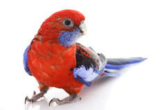Crimson Rosella Royalty Free Stock Image