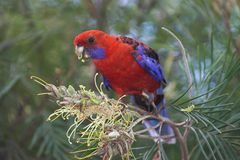 Crimson Rosella Stock Images