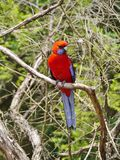 Crimson Rosella Royalty Free Stock Images