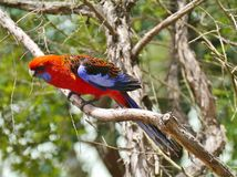 Crimson Rosella Royalty Free Stock Photos