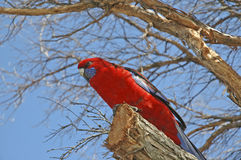Crimson Rosella, a Beautiful Parrot native to forests in Eastern and Southern Australia Royalty Free Stock Photos