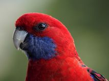 Crimson Rosella Close up. Close up photo of a crimson Rosella sitting on a branch Royalty Free Stock Photography
