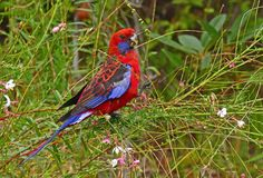 Crimson Rosella feeding on  gaura flowers. Crimson Rosella Platycercus elegans feeding on the flowers and seeds of gaura in a garden on the south coast of NSW Stock Photos