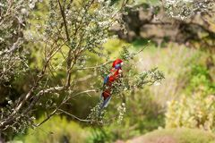 A Crimson Rosella at Mount Tomah Botanic Garden, Australia. A Crimson Rosella Australian native bird sitting on a tree branch with white blooms at Mount Tomah stock photo