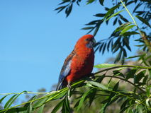 Crimson rosella Stock Photos