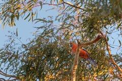 Crimson Rosella parrot bird in orange color perching on Eucalypt Stock Image