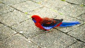 Crimson Rosella Parrot Stock Photo