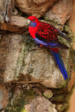 Crimson rosella, Platycercus elegans, colourful parrot sitting on the rock. Animal in the nature habitat, Australia. Parrot sittin. Crimson rosella, Platycercus Royalty Free Stock Image