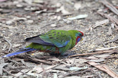Crimson Rosella (Platycercus elegans). Juvenile Crimson Rosella (Platycercus elegans) sitting on the ground in Kennett River at the Great Ocean Road, Victoria Stock Photo