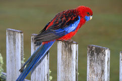 Crimson rosella. (Platycercus elegans), red & blue parrot on a fence - Australia Stock Images
